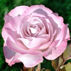 グレーがかったライラックピンクの縁に、赤みがかった藤色が調和したエレガントな花色が魅力です。香りもす...