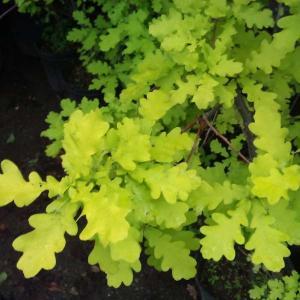 ヨーロッパ原産の欧州ナラの園芸種で、萌芽から遠めにもわかる鮮やかな黄金色の葉がたいへん美しい品種です...