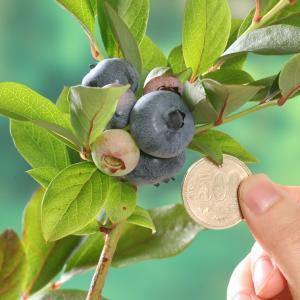 果樹の苗/ブルーベリー:チャンドラー3.5号ポット|engei