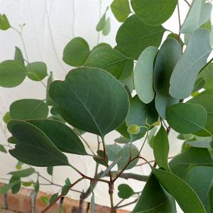 ポリアンセモスはハートのような形の葉で人気のユーカリ。ポポラス、シルバーダラーガム、ハートリーフユー...
