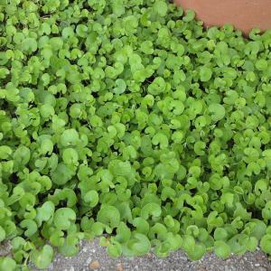 ダイカンドラ(ダイコンドラ):緑葉500g タネ|engei
