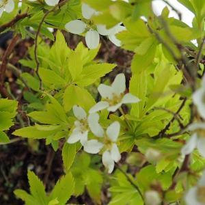 花木 庭木の苗/ユキヤナギ(雪柳):黄金葉4.5号ポット12株セット