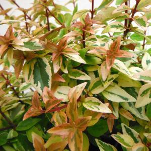 花木 庭木の苗/アベリア:カレイドスコープ5号ポット