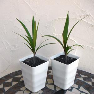 観葉植物/トックリヤシ3号2株セット