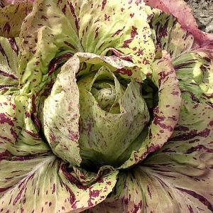 チコリ:カステルフランコ(イタリア高級野菜) 野菜タネ|engei