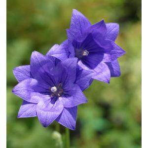 野趣を楽しむ花として、昔から庭植えにされてきた桔梗。日本の庭にとても似合います。紫青色で八重咲き(二...