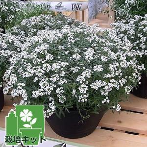 草花の苗/植え込み栽培セット:スーパーアリッサムスノープリンセスと平鉢ジョイ・培養土付き