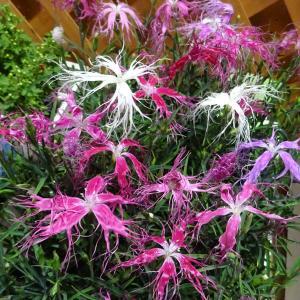 山野草の苗/イセナデシコ(伊勢なでしこ):2本植え花色ミックス3.5号ポット