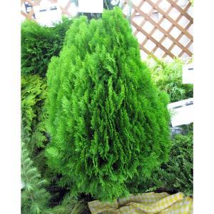 花木 庭木の苗/オウゴンコノテ(黄金コノテガシワ)8号樹高80cm
