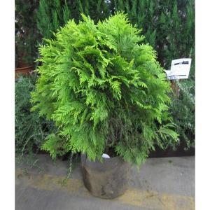 花木 庭木の苗/ニオイヒバ:グロボーサオーレア8号ルートバック樹高1m
