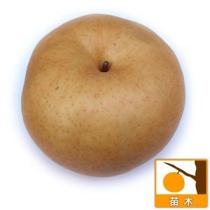果樹の苗/ナシ(梨):あたご(愛宕)4号ポット
