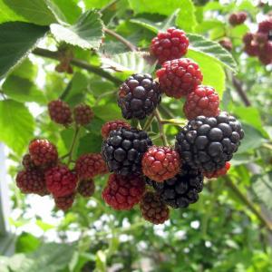 果樹の苗/木いちご(キイチゴ):ブラックベリー ボイソンベリー4〜5号ポット|engei