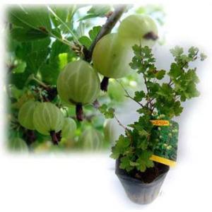 果樹の苗/グーズベリー(すぐり)4〜5号ポット|engei