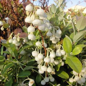 北米原産の半落葉低木で5月頃に芳香のあるスズランに似た白いベル型の花を咲かせます。葉はブルーグリーン...