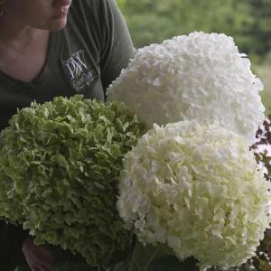 大きな手毬状の花で人気の高いアナベルの改良品種の登場です!アナベルよりも樹高は高く、茎が太くて花序が...