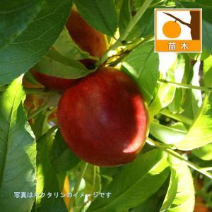 果樹の苗/モモ(桃):早生ワッサー4.5号ポット...