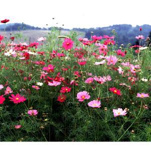 タネ 春〜初夏まき 大輪長期開花の人気種 景観形成作物:コスモスセンセーション(中生)500g