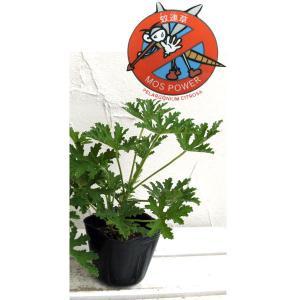 ハーブの苗/蚊連草(蚊よけ植物かれんそう)3号ポット12株セット