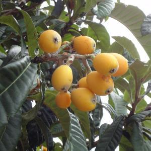 果樹の苗/ビワ:田中4〜5号ポット|engei