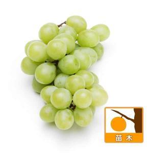 果樹の苗/ブドウ:ヒムロット挿木苗4〜5号ポット