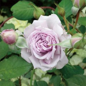 ライラック色のロゼット咲きで、数輪の房咲きになり花付きがよい品種です。花にダマスク系とスパイス系をミ...