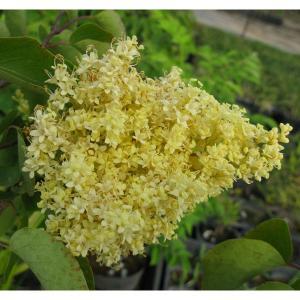 中国北部原産のペキンハシドイでライラックの仲間。淡黄色の花を咲かせる大変珍しい品種です。花穂は小輪多...