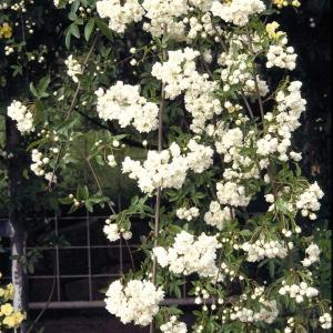 バラの苗/モッコウバラ:白花八重3号ポット28株セット 送料無料|engei