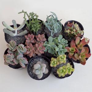 観葉植物/多肉植物ミックス2号ポット 10株セット|engei