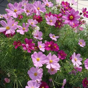 タネ 春〜夏まき 草丈70cmの早生種 景観形成作物:コスモス・ポニー(わい性・早生)500g入り