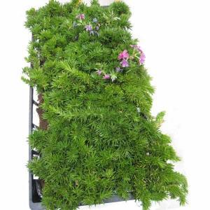 草花の苗/マット植物:シバザクラ ダニエルクッションのマット25cm×25cm 10枚セット