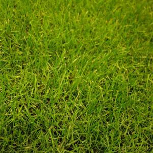 サッカー場やゴルフ場、学校の運動場などのスポーツターフに適した西洋芝の種、ペレニアルライグラス PN...