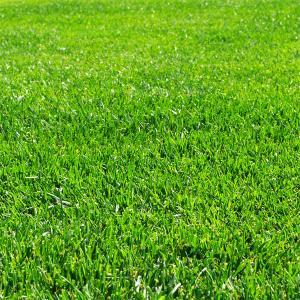 法面緑化、飛砂防止、ゴルフ場などに使われる西洋芝の種、ハードフェスクです。細茎・細葉、低い草丈、強い...