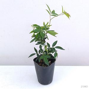 草花の苗/モッコウバラ:黄花八重咲き3号ポット*の詳細画像1
