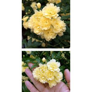 草花の苗/モッコウバラ:黄花八重咲き3号ポット*の詳細画像3