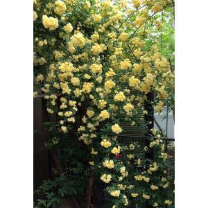 草花の苗/モッコウバラ:黄花八重咲き3号ポット*の詳細画像4