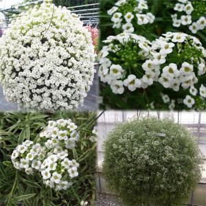 草花の苗/おためし2種6株セット:スーパーアリッサム