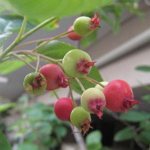 花木 庭木の苗/ジューンベリー(アメリカザイフリボク):実生苗5号ポット