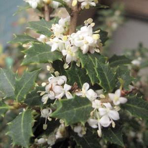 花木 庭木の苗/ヒイラギ:香姫(カオリヒメ)3号ポット 極小葉で香りのよい白花を11月頃に咲かせる柊|engei