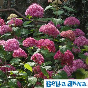 ★この商品は苗木です★大きな手毬状の花で人気の高いアナベルの濃いピンク花の最新品種です。これまでにな...