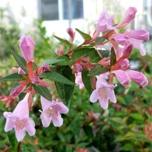 花木 庭木の苗/アベリア:グランディフローラ エドワードゴーチャ5号ポット