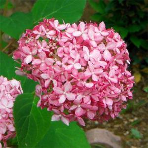 ★お得なまとめ植え5株セットです★大きな手毬状の花で人気の高い北米原産のアジサイ、アナベルのピンク花...