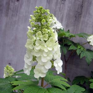 花木 庭木の苗/カシワバ(柏葉)アジサイ:スノークイーン(一重)樹高70〜80cm根巻き
