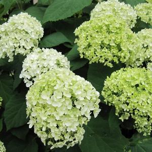 アナベルは直立した繊細な茎に大きな手毬状になる真っ白な細かい花が美しいアジサイです。花色は咲き進むに...