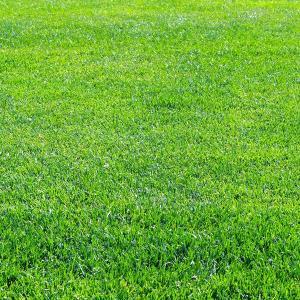 芝の種:トールフェスク コロナ1kg|engei