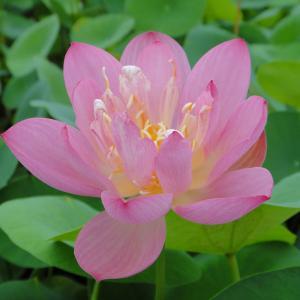 草花の苗/19年5月中旬予約 花はす:桃紅小碗蓮4.5号ポット