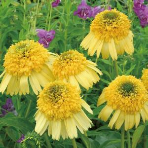 日本の夏に強い宿根草! 茎が丈夫で倒れにくく、暑さにも強いので、手間がかからない品種です。 夏から秋...
