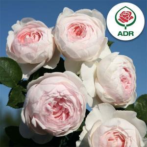 クリスティアーナはアンティークタッチのつるバラです。房になって咲くカップ咲の花は繊細な雰囲気です。レ...