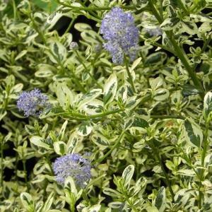 セアノサスはカリフォルニアライラックという名前で人気の低木です。小さな花が集まって、5cmくらいの花...