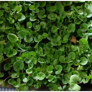 20年3月中下旬予約 ダイカンドラ(ダイコンドラ):緑葉3.5号ポット 4株セット