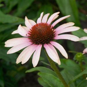 珍しいバイカラー(2色)咲きのエキナセアです。5年以上の歳月をかけて生み出された品種。美しくエキゾチ...